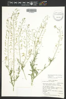 Descurainia pinnata subsp. ochroleuca image