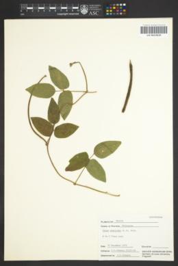 Image of Vigna vexillata