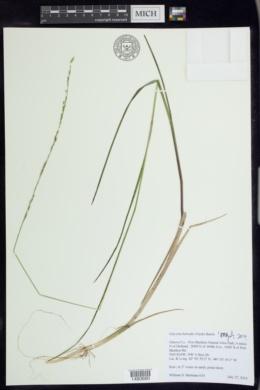 Glyceria borealis image