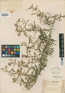 Bonplandia geminiflora image
