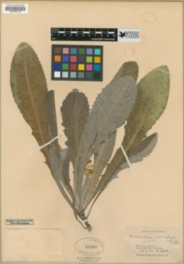 Berlandiera x macrophylla image