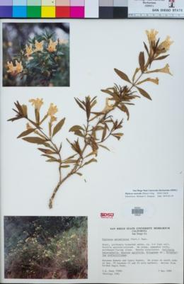 Image of Diplacus australis