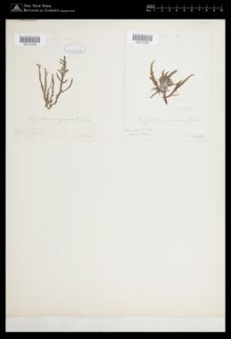 Halurus equisetifolius image