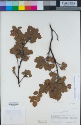 Arctostaphylos hookeri subsp. hookeri image