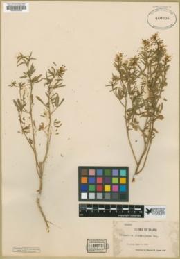 Cleomella plocasperma image