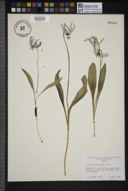 Image of Erythronium hendersonii