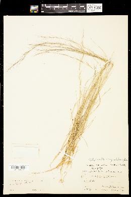 Image of Aristida geniculata