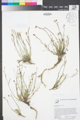 Image of Boechera platysperma
