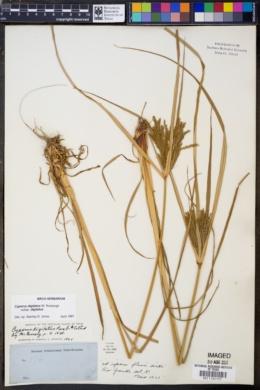 Image of Cyperus digitatus