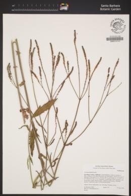 Image of Verbena litoralis