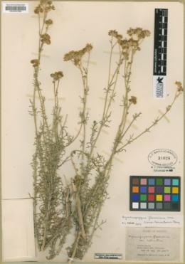 Hymenopappus flavescens var. canotomentosus image