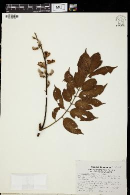 Image of Lonchocarpus cruentus