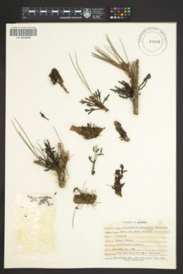 Image of Arceuthobium guatemalense