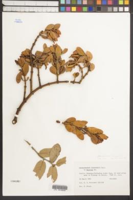 Image of Phoradendron lanceolatum