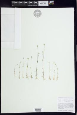 Moenchia erecta image