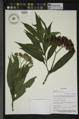 Image of Solanum trachycyphum