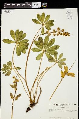 Image of Lupinus mucronulatus