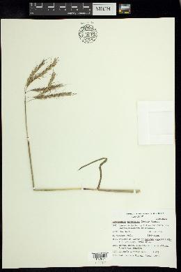Bothriochloa hirtifolia image