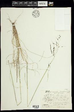 Piptochaetium seleri image
