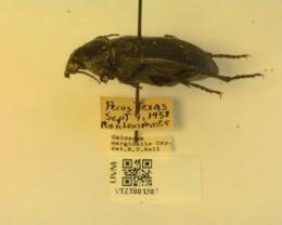 Calosoma marginalis image