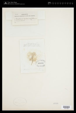 Jania verrucosa image