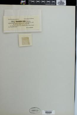 Haplotaenium rectum image