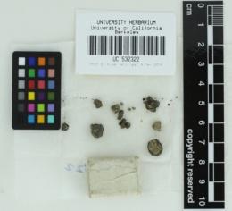 Image of Hymenogaster gardneri