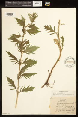 Lycopus americanus image