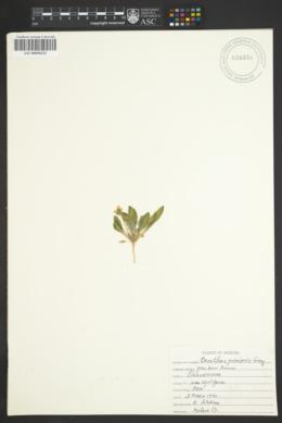 Oenothera primiveris image