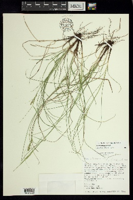 Image of Carex perstricta