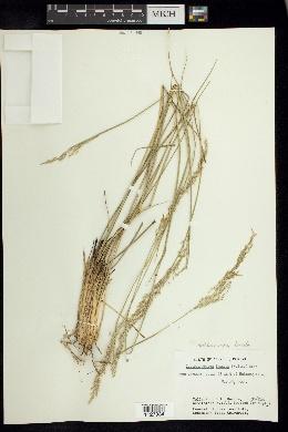 Leptocoryphium lanatum image