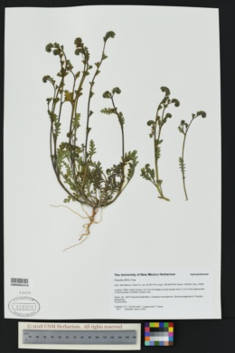 Phacelia affinis image