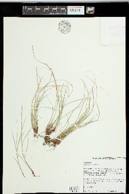 Carex reznicekii image