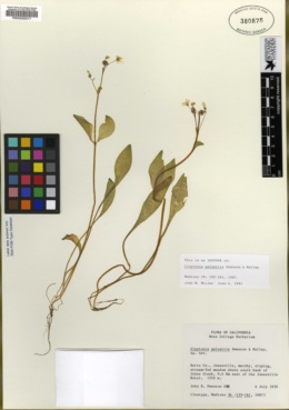 Claytonia palustris image