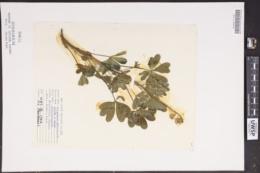Lupinus perennis image