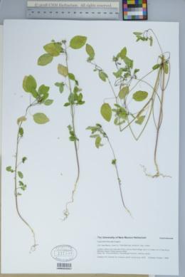 Euphorbia bifurcata image
