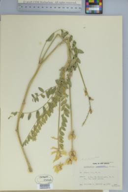 Astragalus giganteus image