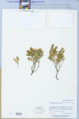 Ericameria cuneata var. spathulata image
