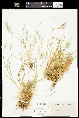 Image of Bromus oxyodon