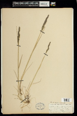 Image of Poa atropurpurea