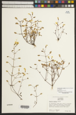 Erythranthe nudata image