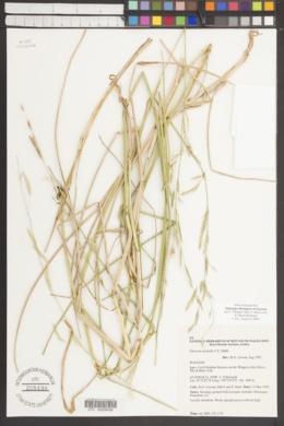 Image of Glyceria australis