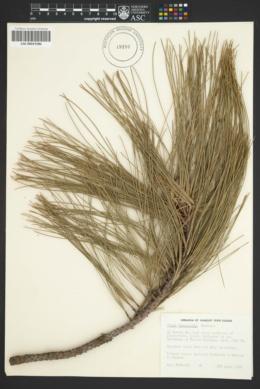 Image of Pinus durangensis