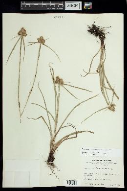 Image of Cyperus svensonii