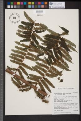 Image of Alsophila incana