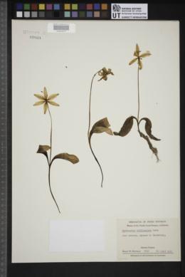 Image of Erythronium californicum