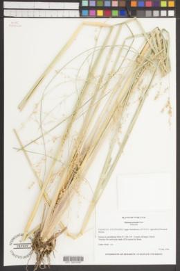 Image of Panicum prionitis