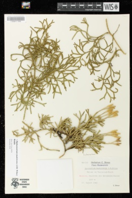 Image of Diphasiastrum madeirense