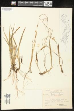 Iris reticulata image