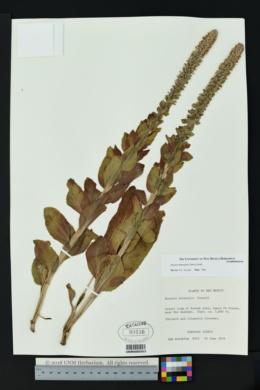Image of Synthyris oblongifolia